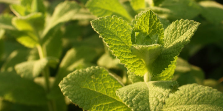 PflanzenKreativHof_Minze-2